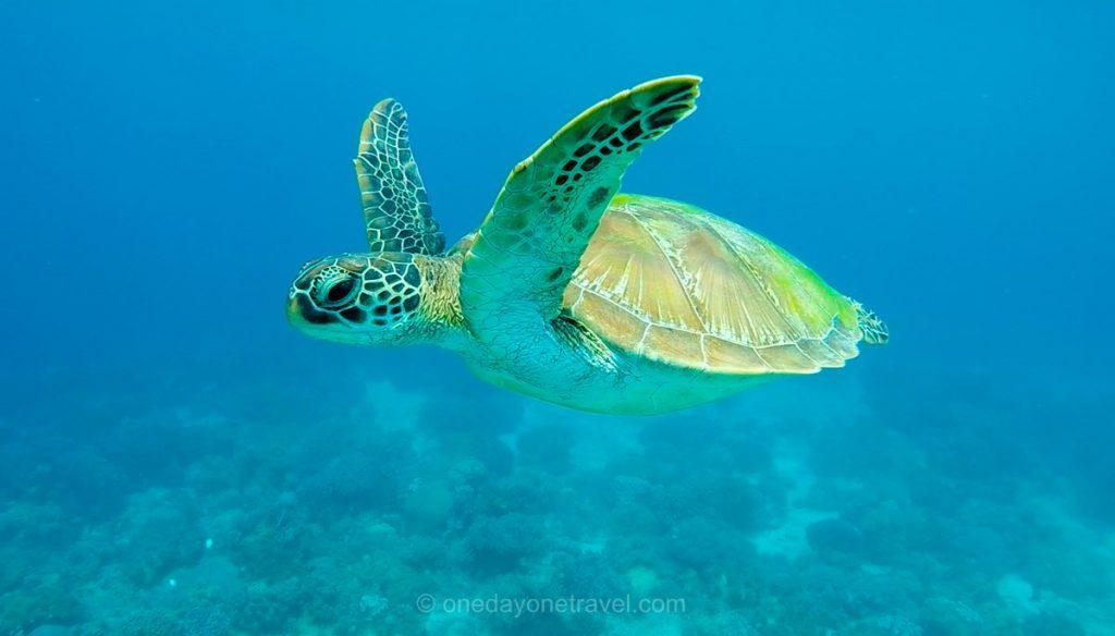 APO tortue negros Philippines