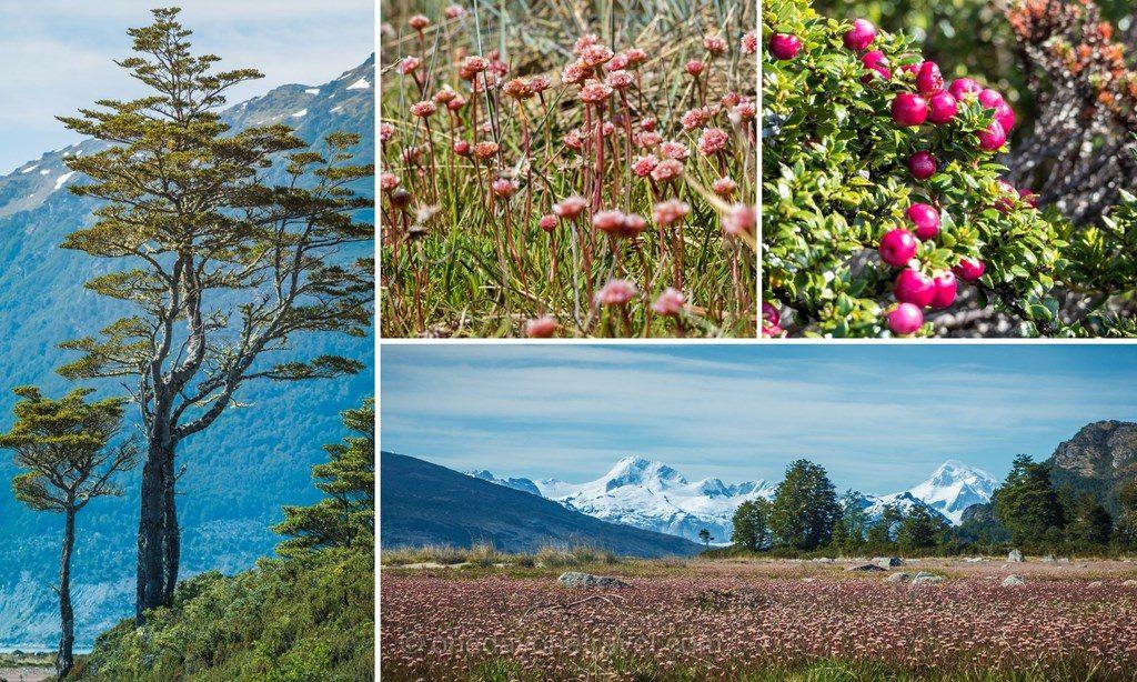 Australis croisiere flore patagonie