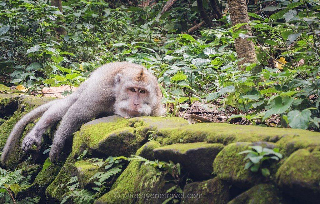 Singe en Indonésie Bali Blog Voyage