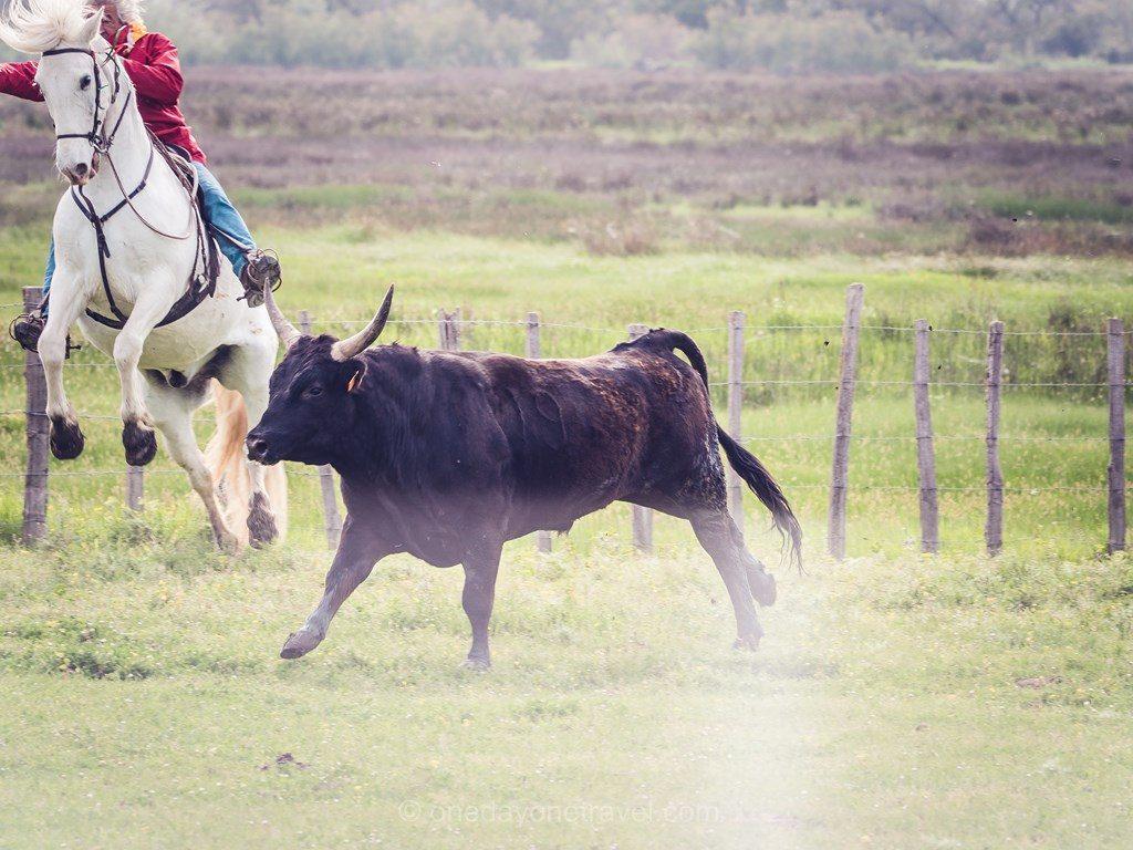 Camargue taureau cheval