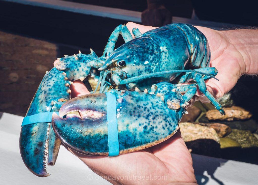 Caraquet Nouveau-Brunswick homard bleu