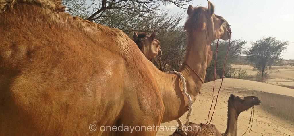 Jaisalmer desert thar camel safari