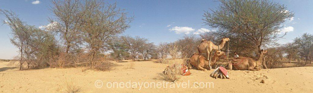 Jaisalmer desert thar camel safari chameau