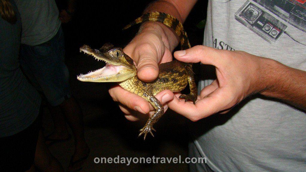 Jamaraqua Tapajos Amazone Crocodile
