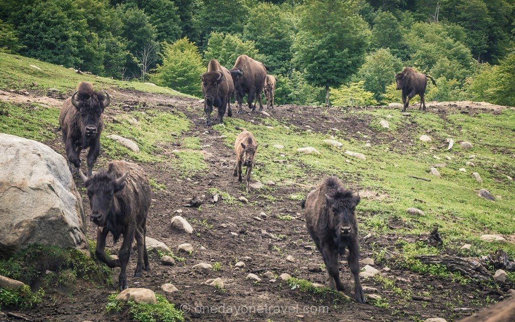 Kanatha Aki bisons Laurentides