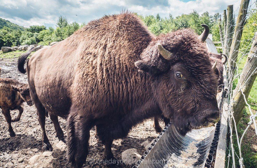 Kanatha Aki bison Laurentides
