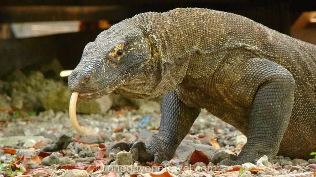 Komodo island Flores Indonésie dragon langue