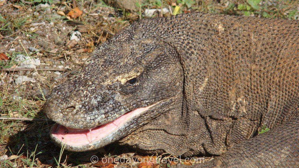 Komodo island Flores Indonésie dragons