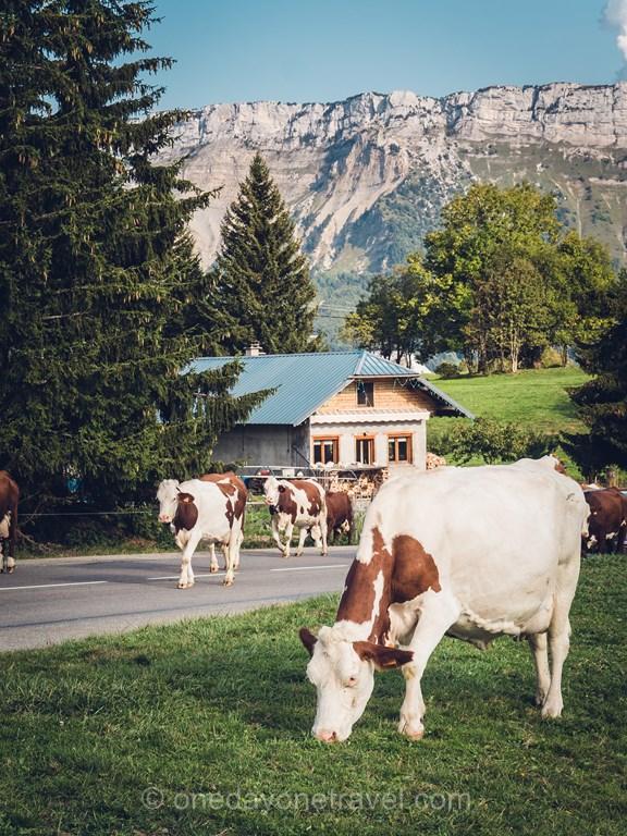 La Feclaz Alpes vaches montagne