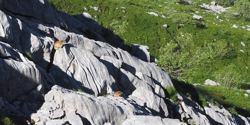 Marmottes Aravis Alpes montagne