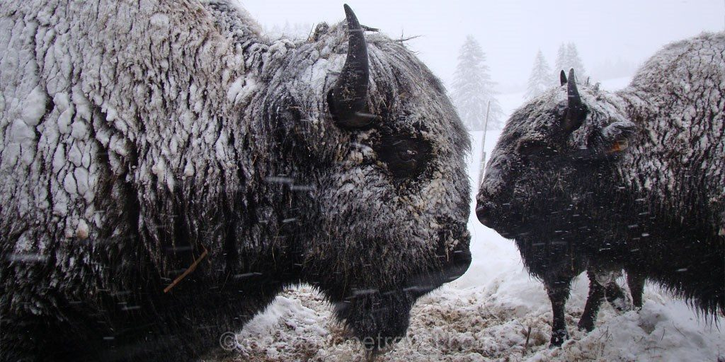 Montagnes du Jura ferme aux bisons la pesse
