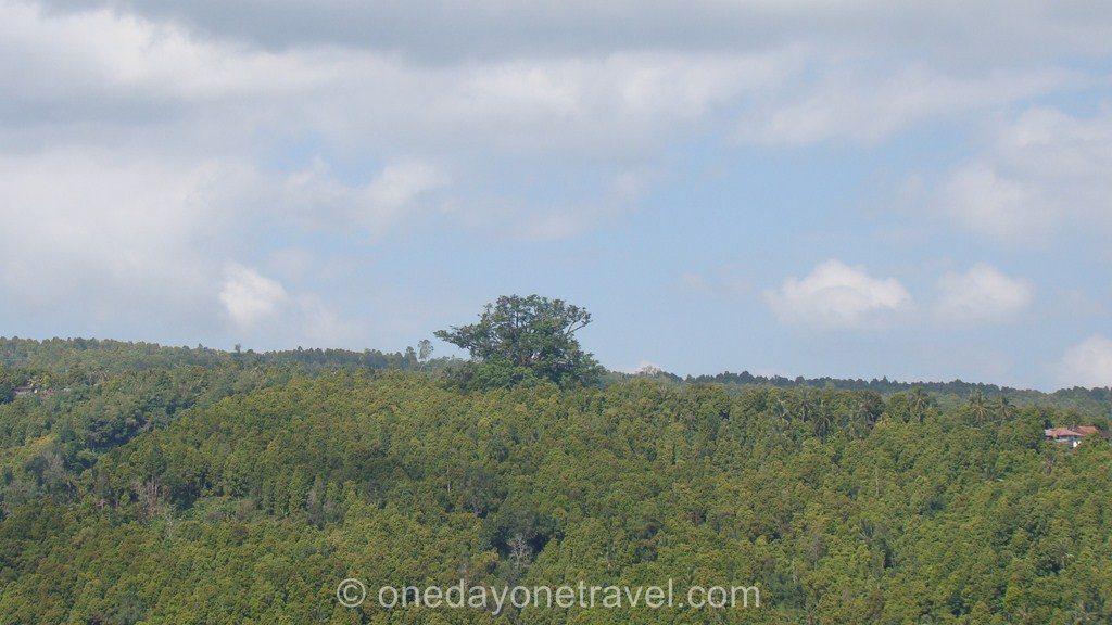 Munduk Banyan tree