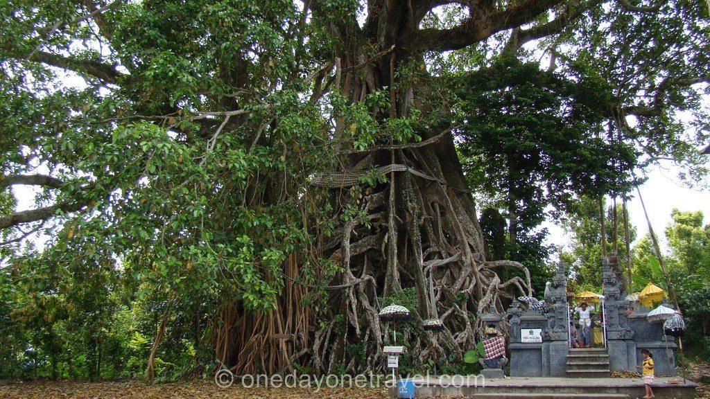 Munduk Banyan tree 2