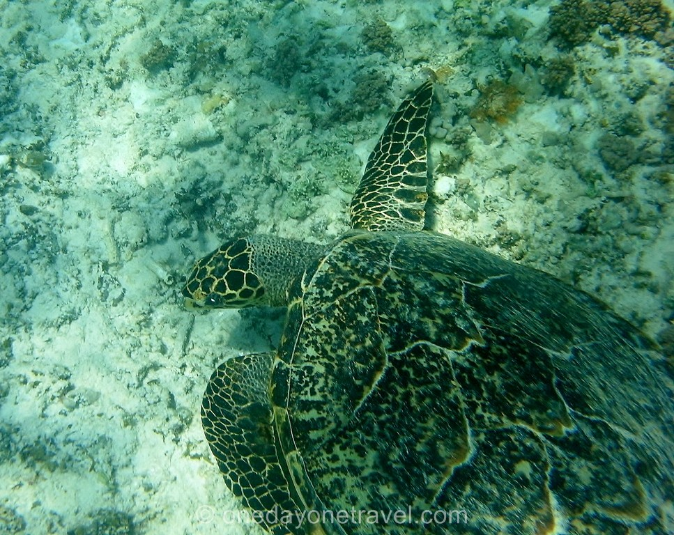 Tortue aux Gili islands