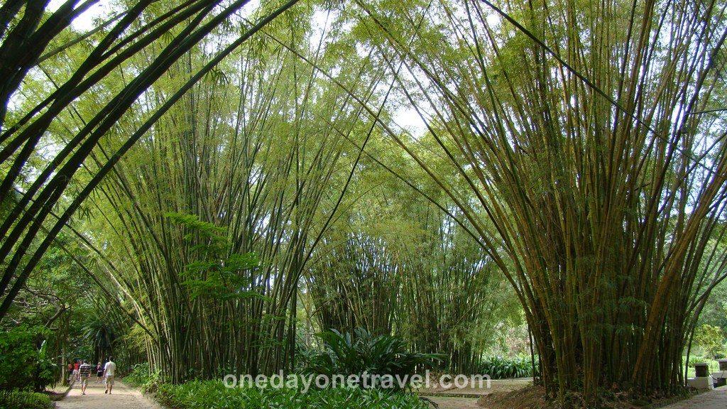 Rio de Janeiro Jardin Botanique bambou