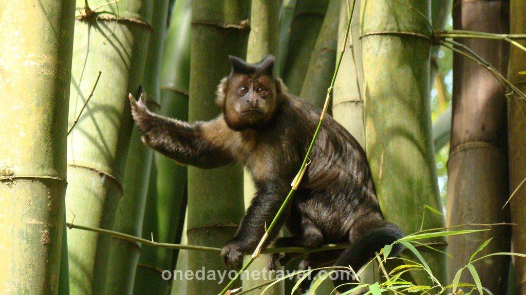 Rio de Janeiro Jardin Botanique singe