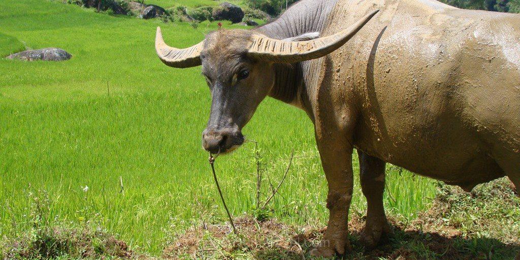 Riziere buffaloi Rantepao Pays Toraja