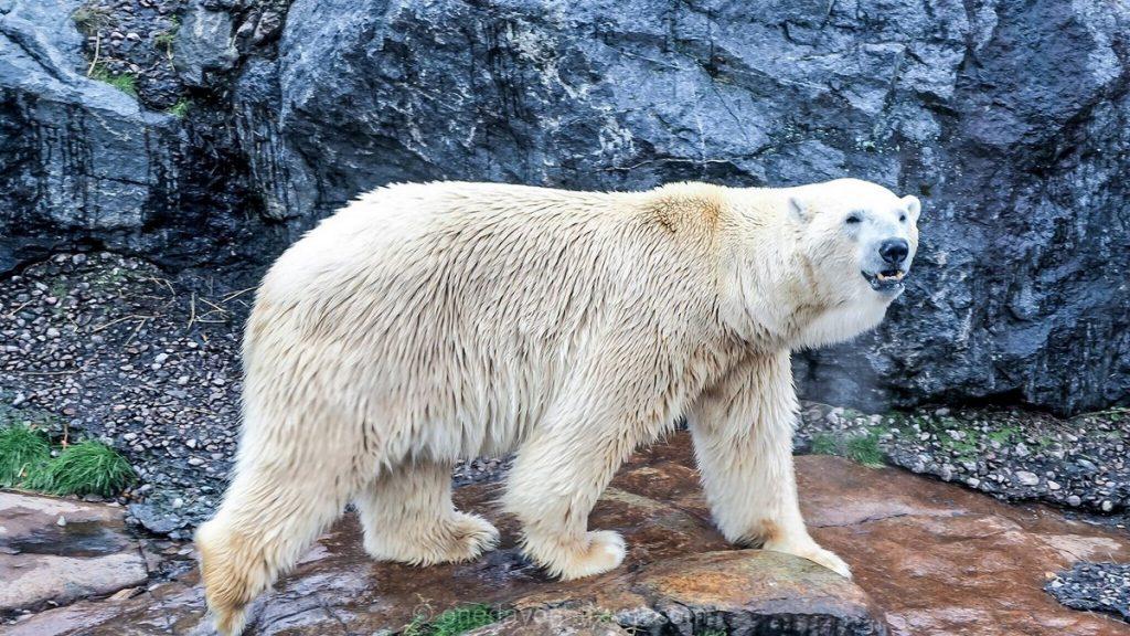Lac Saint-Jean Zoo sauvage Saint-Félicien ours polaire