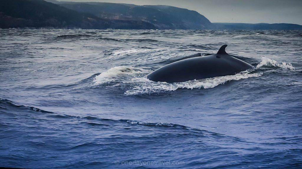 Tadoussac Baleine rorqual québec saint laurent