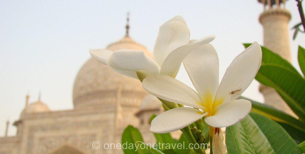 Taj Mahal frangipanier