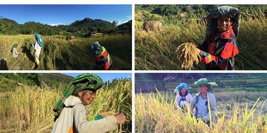 Trek Toraja riziere femmes Sulawesi