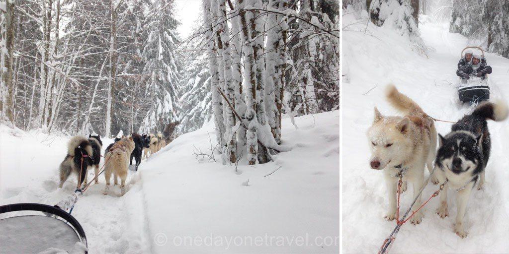 chien de traineau Giron Montagnes du Jura