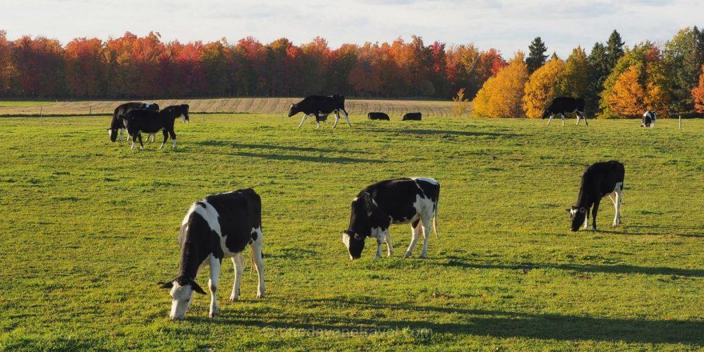fromagerie vaches Cantons de l'est