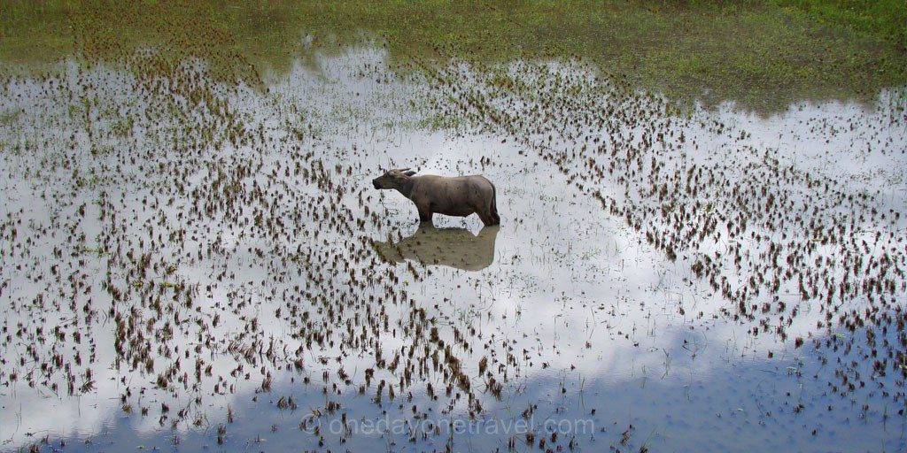 Sulawesi Célèbes Toraja buffle