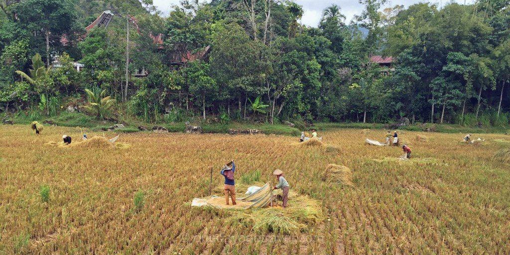 travail dans les rizieres Rantepao Sulawesi Célèbes