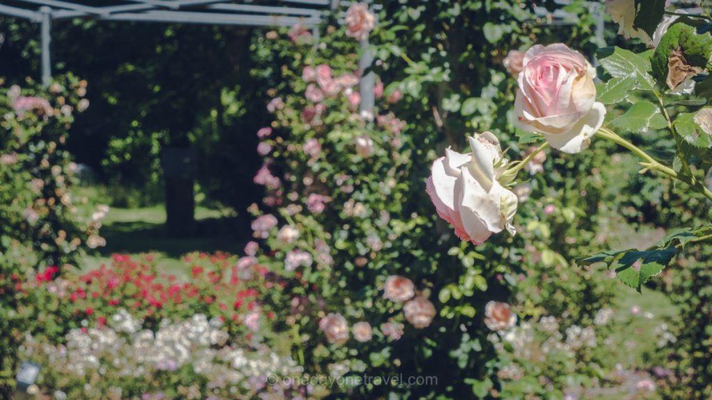 roses jardin Terrasson Dordogne