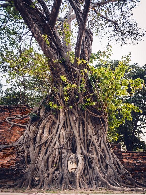 Ayutthaya bouddha racine tête ficus banyan