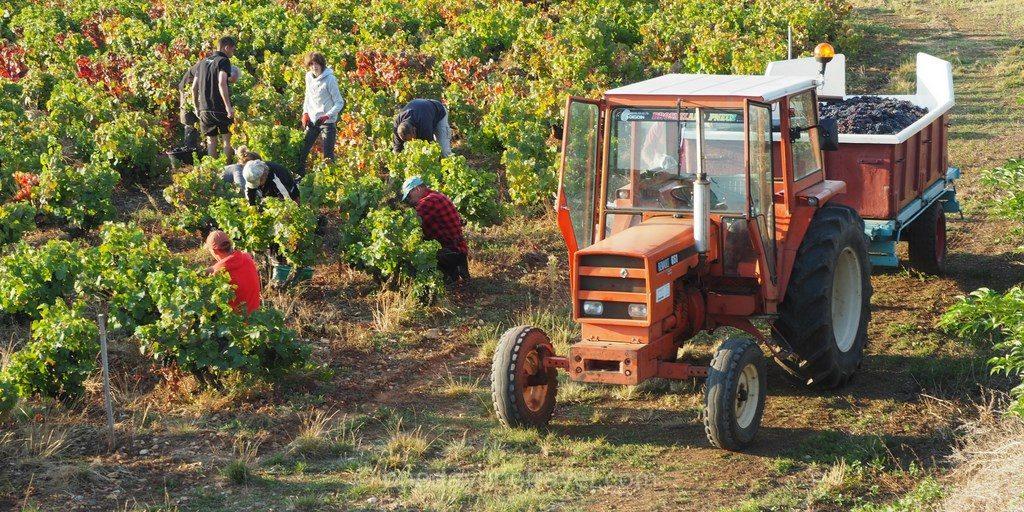 beaujolais vignes vendange