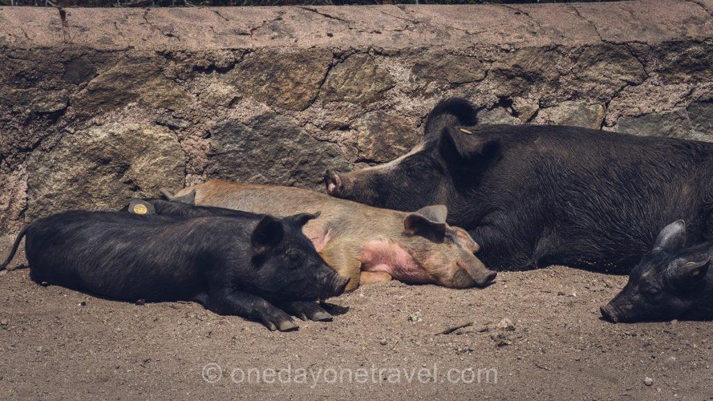 Cochons sur la route Evisa Ota - Ouest Corsica
