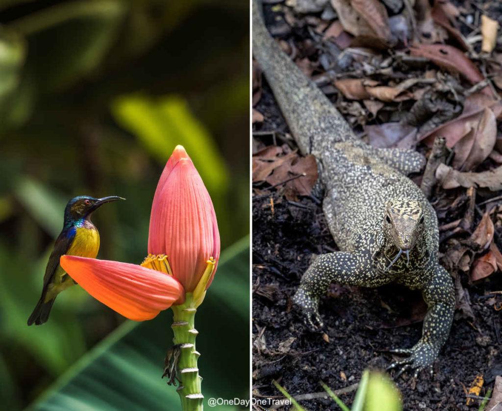 Visiter Singapour et son jardin botanique oiseau varan