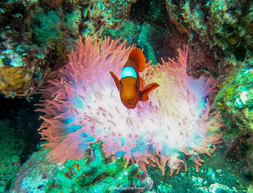 Poisson Clown - Plonger et voyager à Raja Ampat avec une agence de voyage spécialisée
