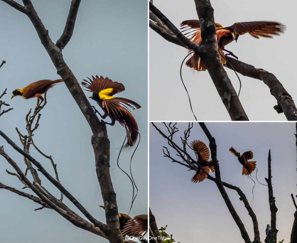 Les oiseaux de paradis - Séance d'observation en pleine jungle à Raja Ampat